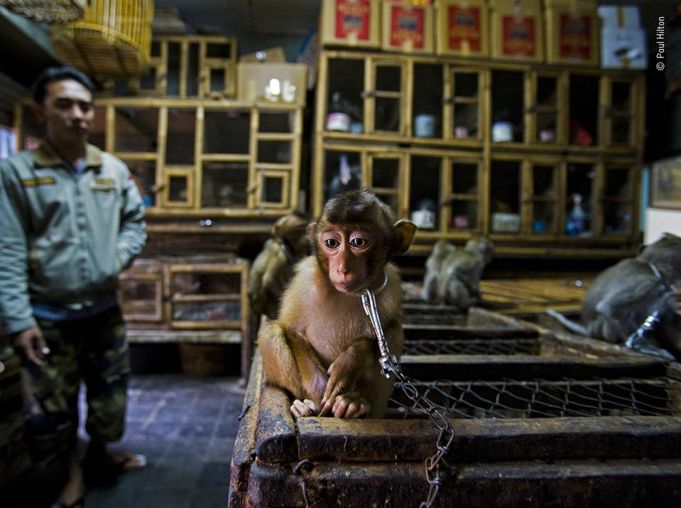 Wildlife Photographer of the Year: young pig-tailed macaque chained to wooden cage in Bali