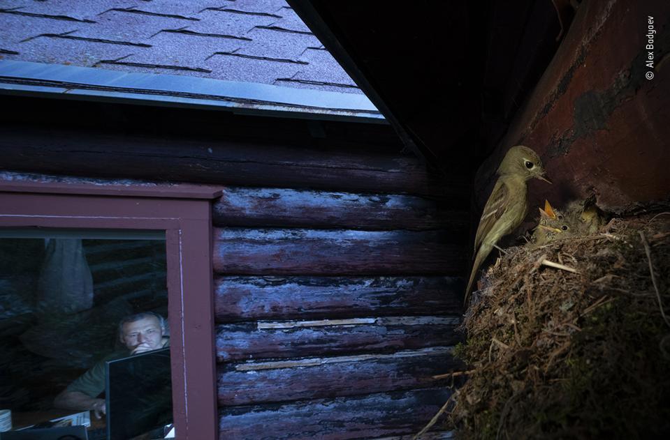 Wildlife Photographer of the Year: A nest of Cordilleran flycatcher birds