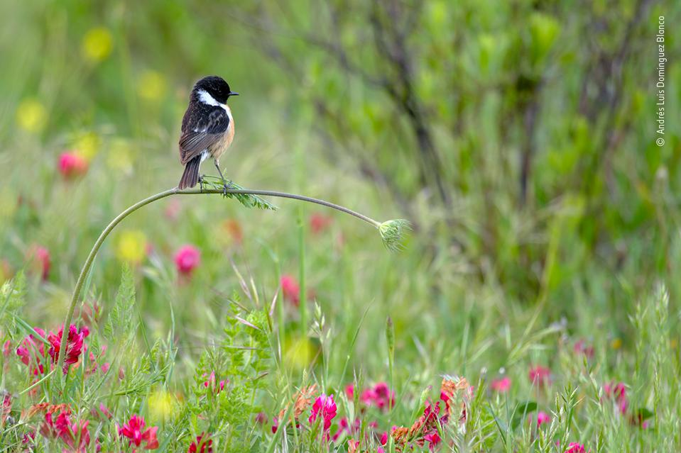 Wildlife Photographer of the Year: European stonechat bird in blossoming meadow.