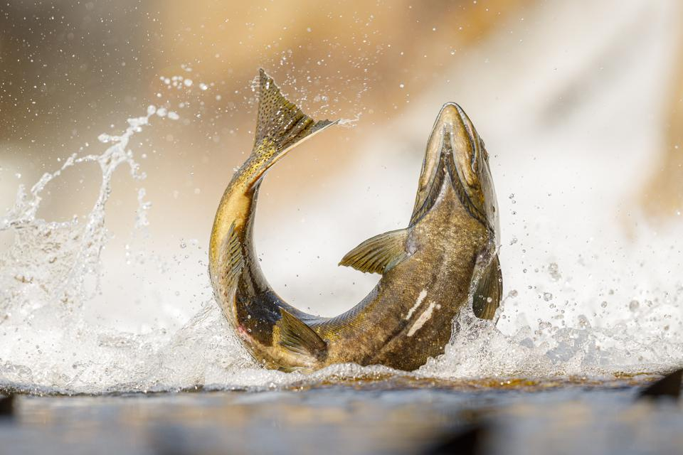 Salmon fish jumping with splash above water surface