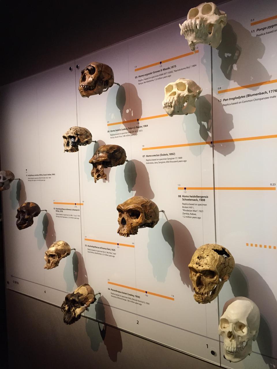 A display of hominid skulls at the Lee Kong Chian Natural History Museum, Singapore.