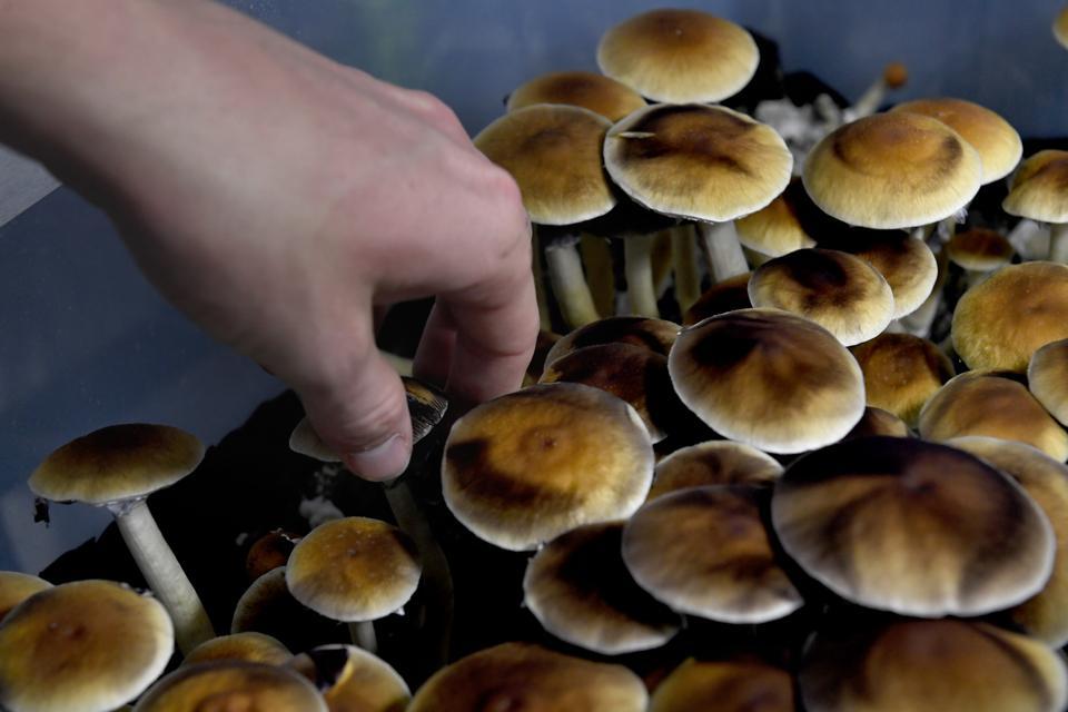 An unidentified man harvests Mazatec psilocybin mushrooms from a growing tub.