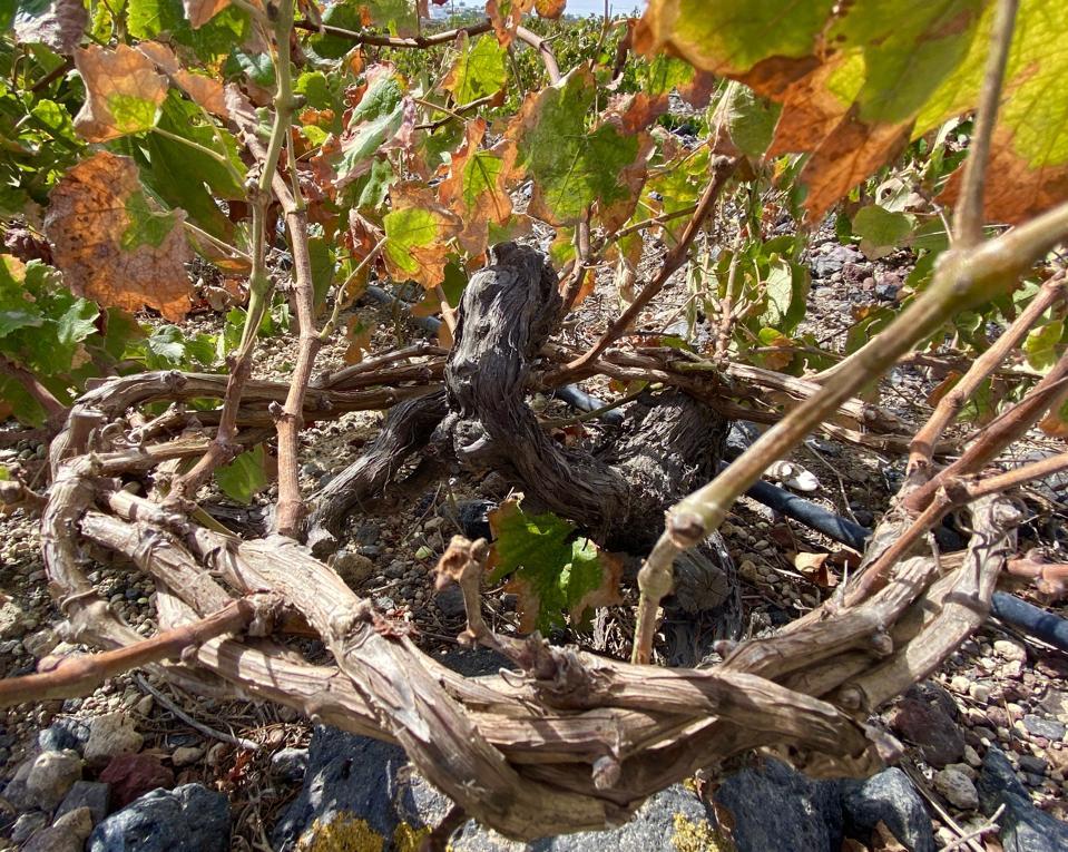 Kouloura vine training