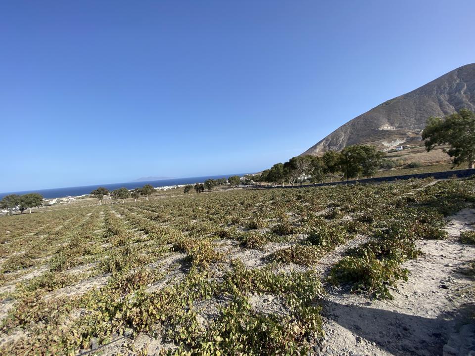 Vineyard at Estate Argyros, Santorini, Greece
