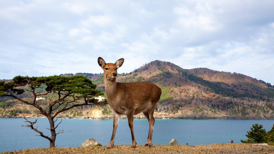 Sika deer (Cervus nippon), Japan
