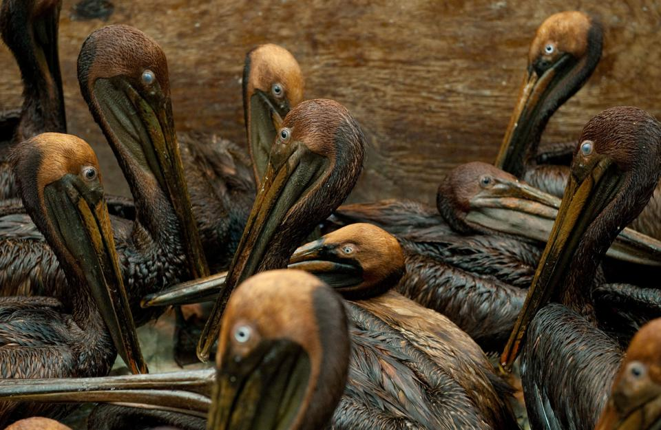 Oil covered brown pelicans found off the