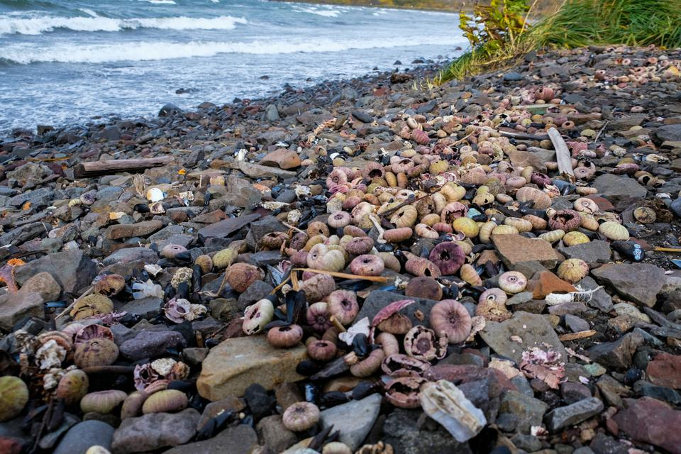 Environental Disaster in Kamchatka where thousands of sea creatures were discovered dead on the ocean floor, despite relatively low numbers appearing on shore