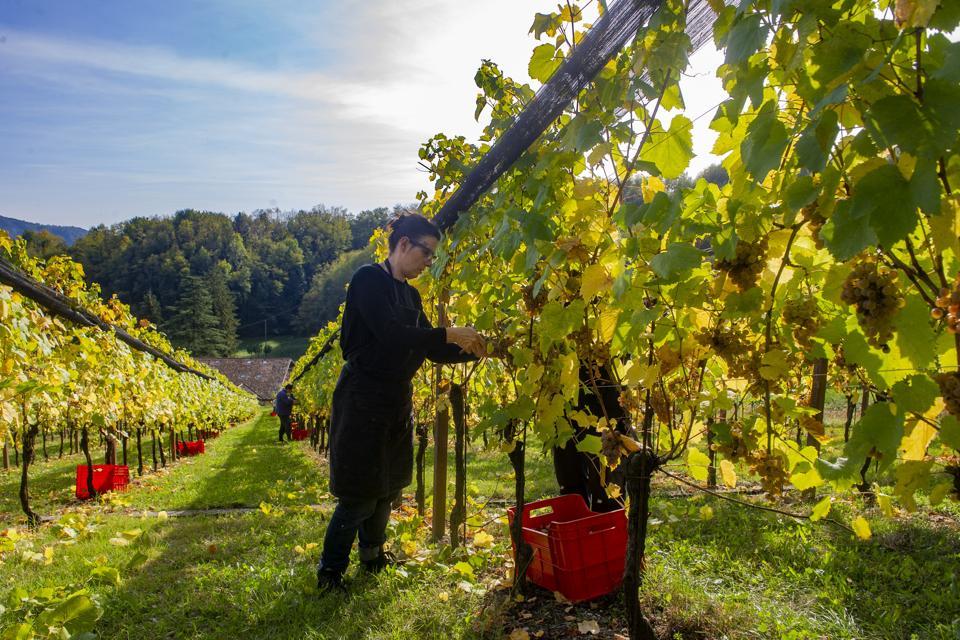 Piccolit Grape Harvest In Friuli
