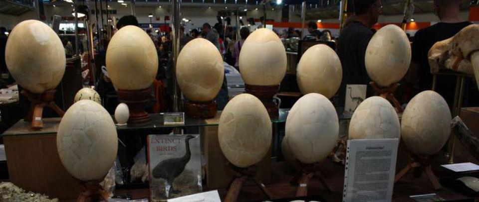 A collection of giant elephant bird eggs.