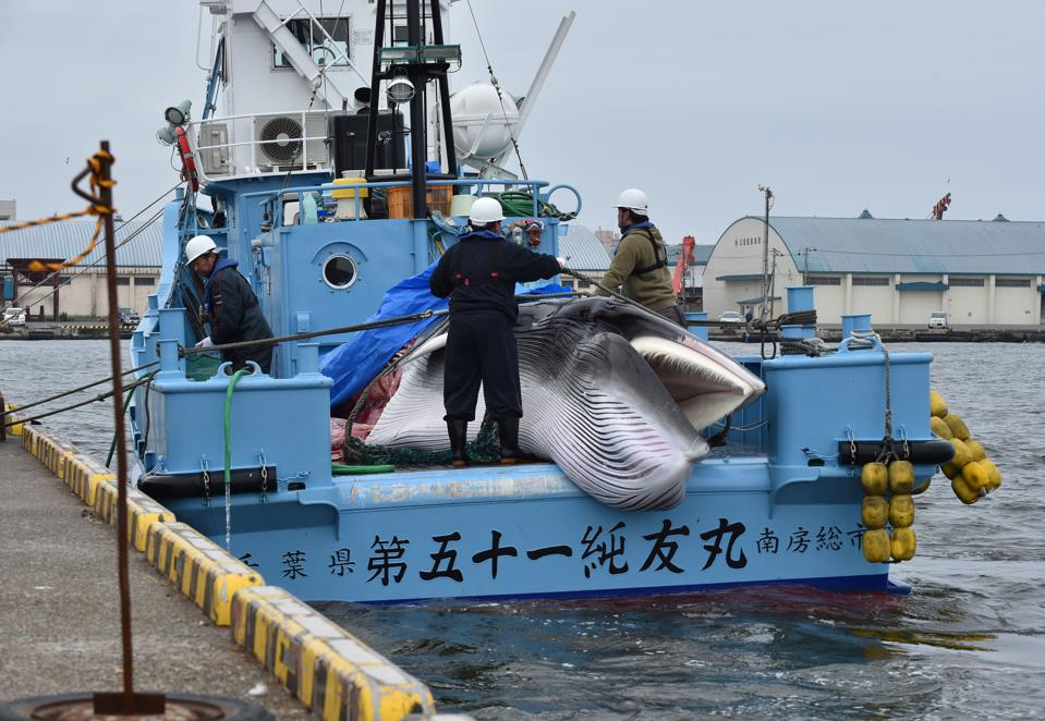 In 2019, Japan commenced commercial whaling after a three year hiatus, breaking an international convention that had existed since the mid-1980s