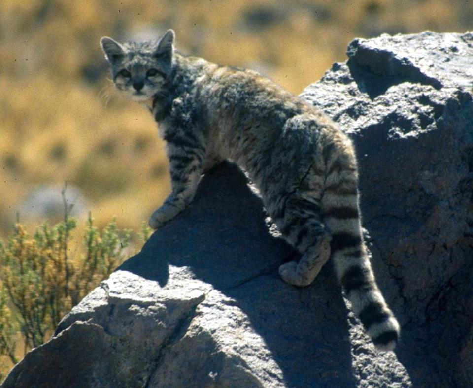 Andean Cat (Leopardus jacobita).