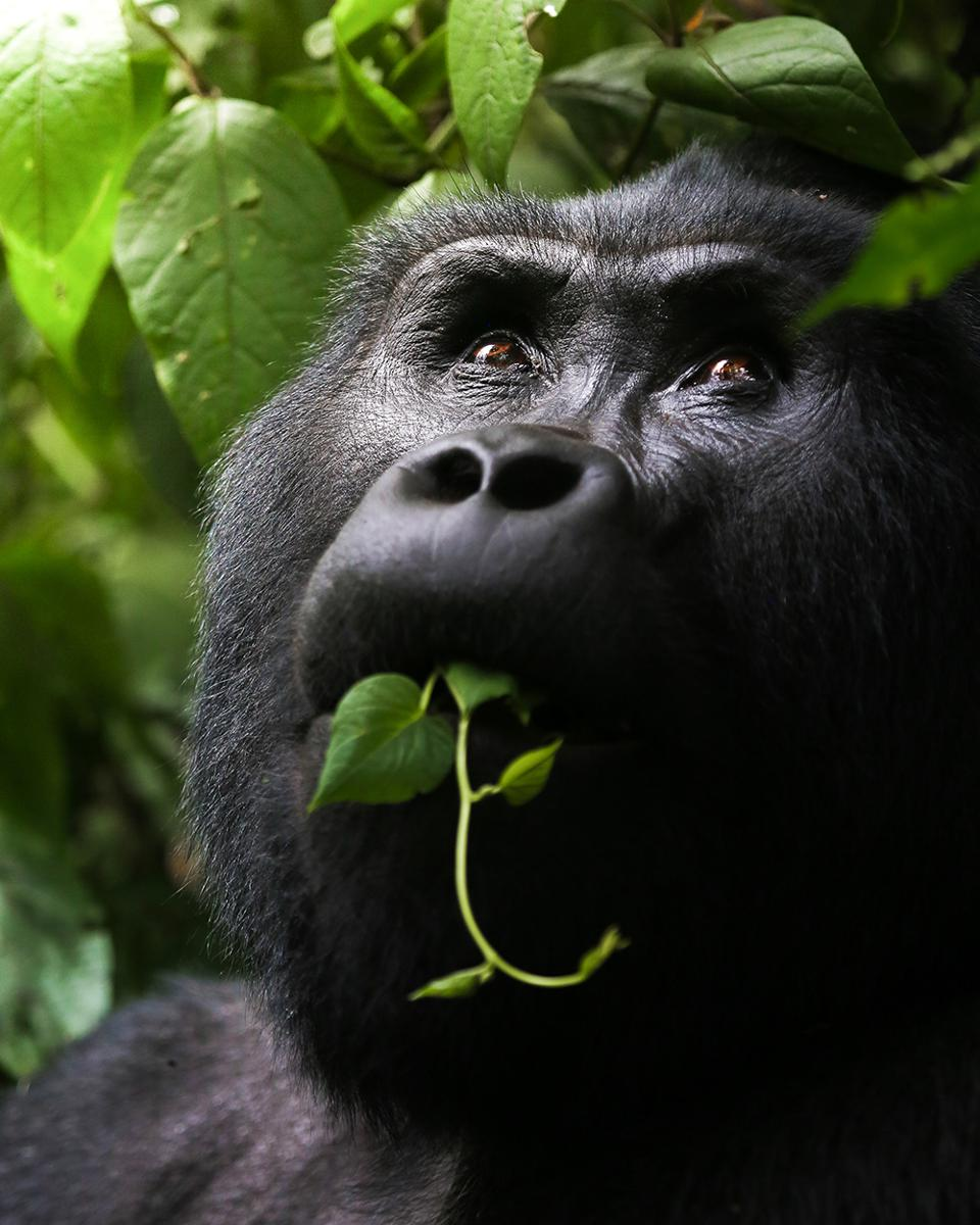 The World We Want, global photo contest: Close up Wild mountain gorilla
