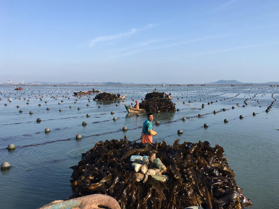 lines for growing kelp in the ocean in China