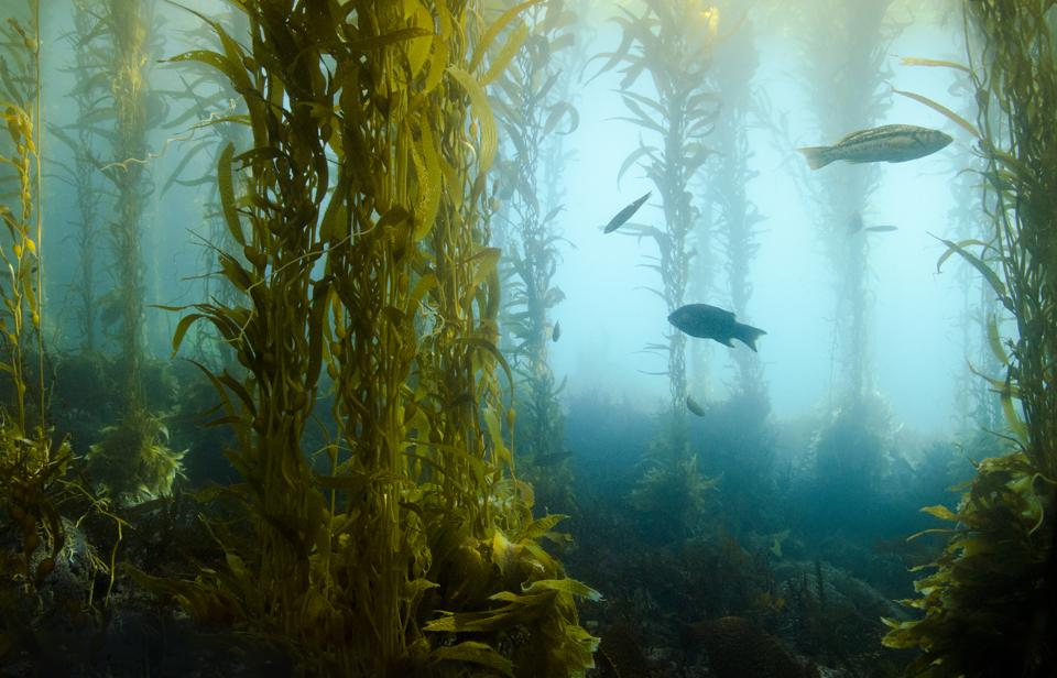 Underwater view of a kelp forest with fish swimming among the seaweed.