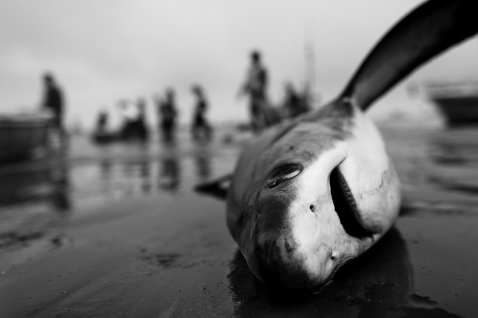 Shark Overfishing and Shark Fins Trade in Ecuador