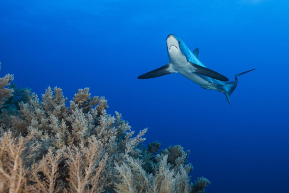 Pelagic thresher shark swimming above coral