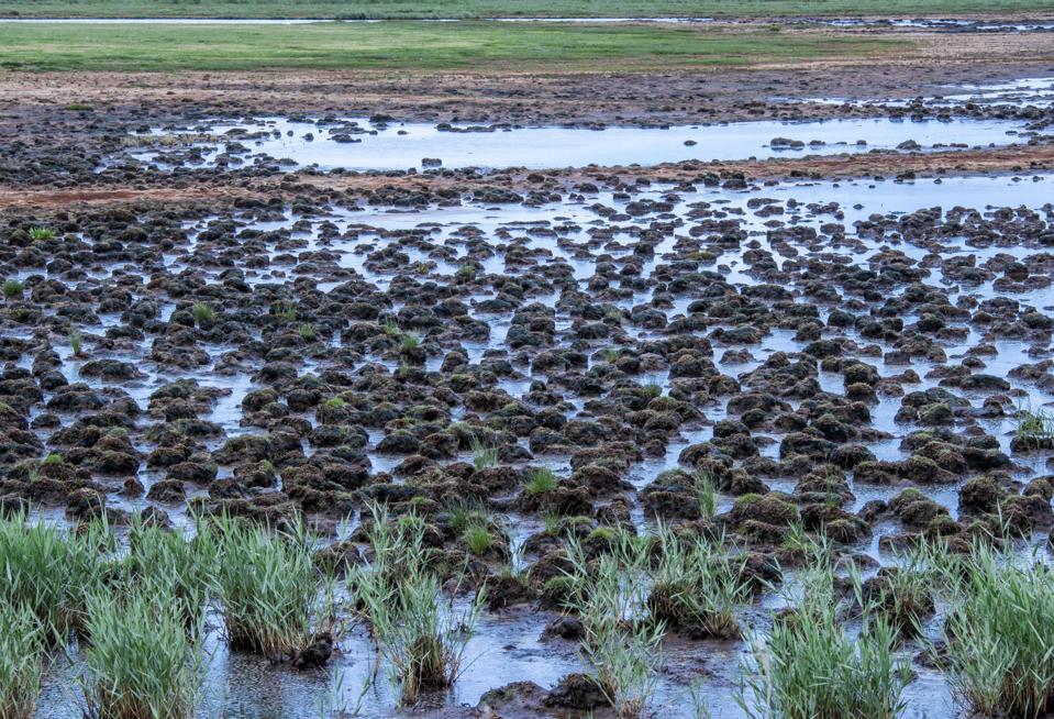 Salt marsh peat.