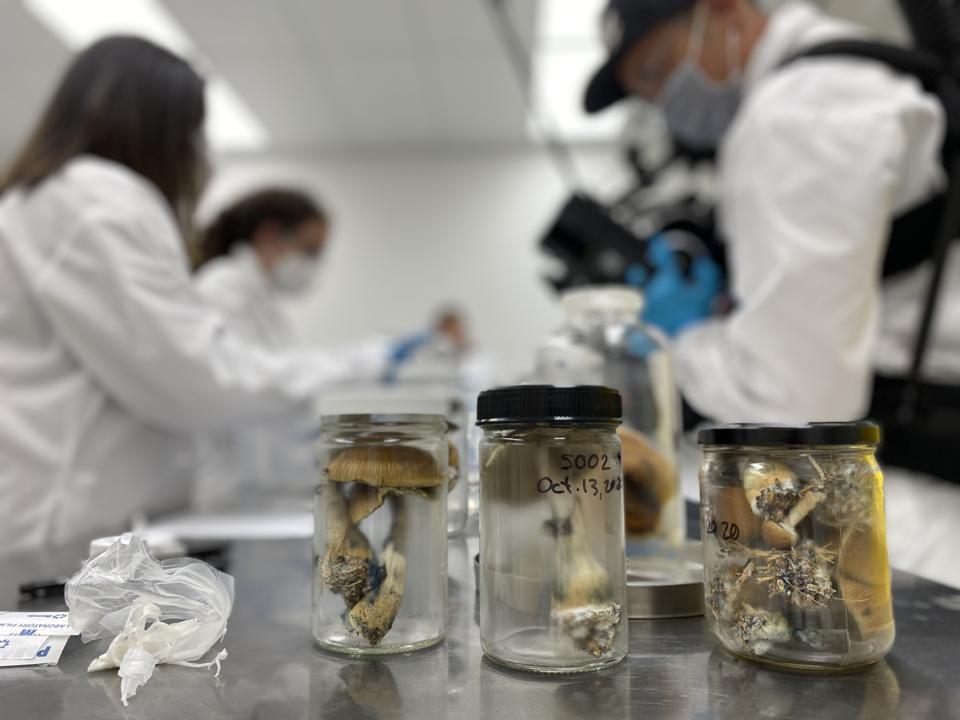 Tres frascos de setas sobre una mesa de metal.  Científicos en batas de laboratorio blancas en el fondo.