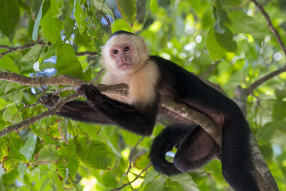 A white-faced capuchin monkey (Cebus capucinus) in the...