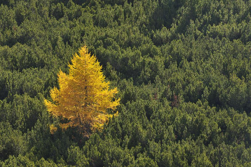 Larch tree in mountain