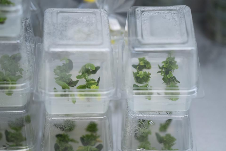 Seedlings growing in clear plastic containers with no dirt.