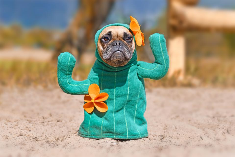 French Bulldog dog dressed up with funny cactus Halloween dog costume with fake arms and orange flowers