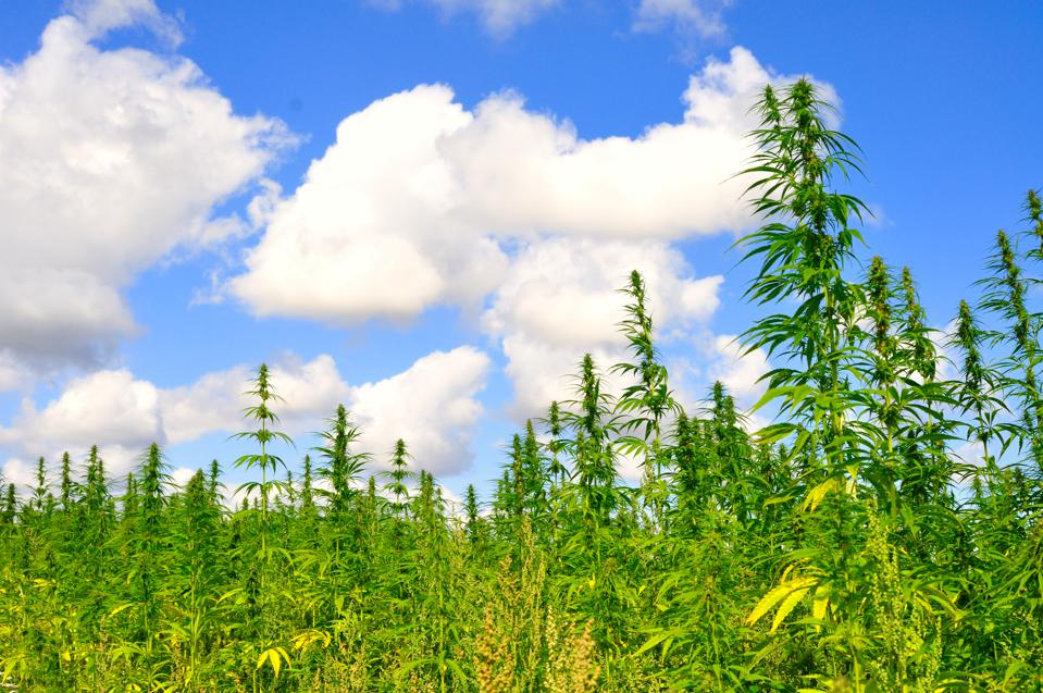 Hemp growing in a field in East Anglia, UK, where it's an increasingly popular crop among farmers. Hemp is grown for industrial purposes including paper, textiles, biodegradable plastics, construction, health food, and fuel.