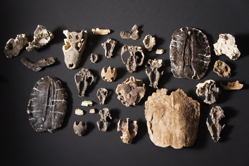 """An overhead shot of the prepared vertebrate fossils retrieved from Corral Bluffs in HHMI Tangled Bank Studios' film """"Rise of the Mammals."""""""