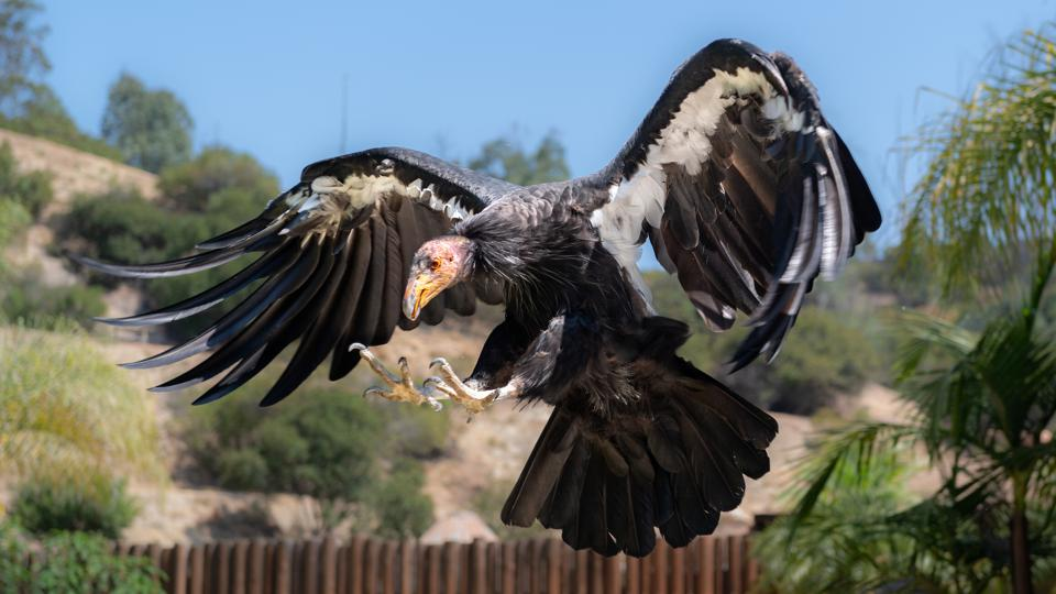 Hope the California Condor at the Los Angeles Zoo