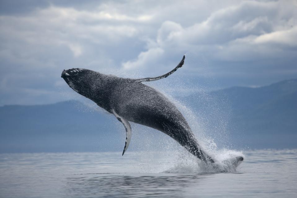 Humpback Whale in Frederick Sound, Alaska, USA.