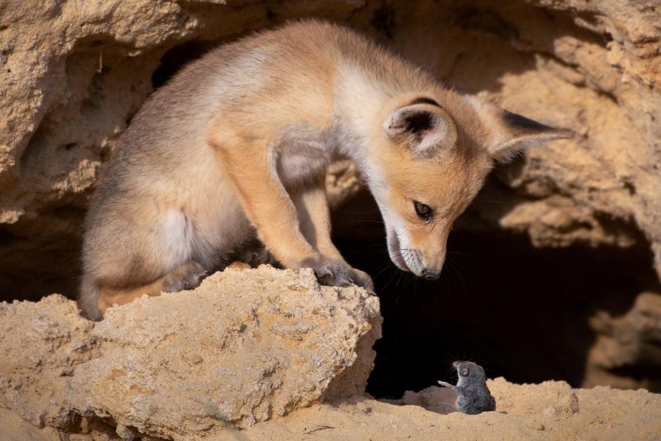 Funny Wild Animals competition: a fox and a mouse in seeming conversation