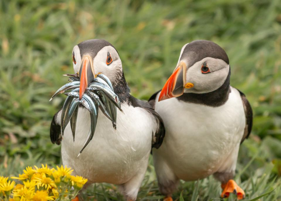 Funny Wild Animals photo competition: Two puffins, one with lots of small fish in its beak the other with none.