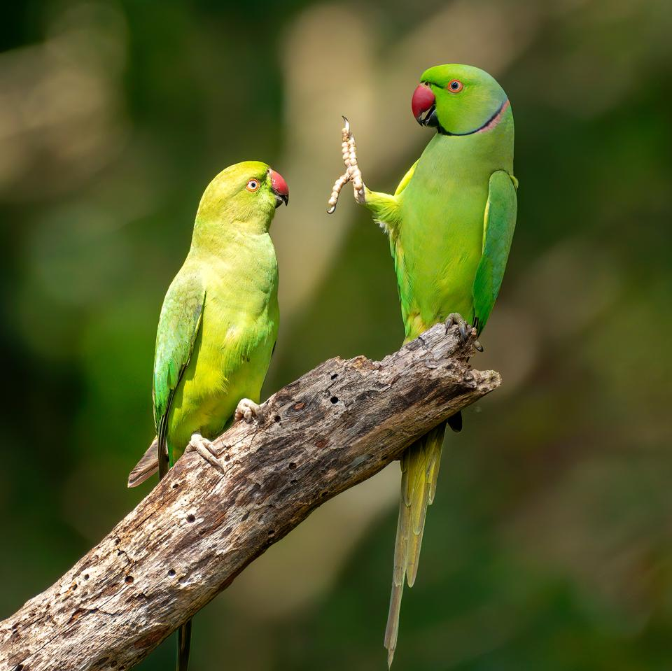 Funny Wild Animals photo competition: Rose Ringed Parakeets in Sri Lanka