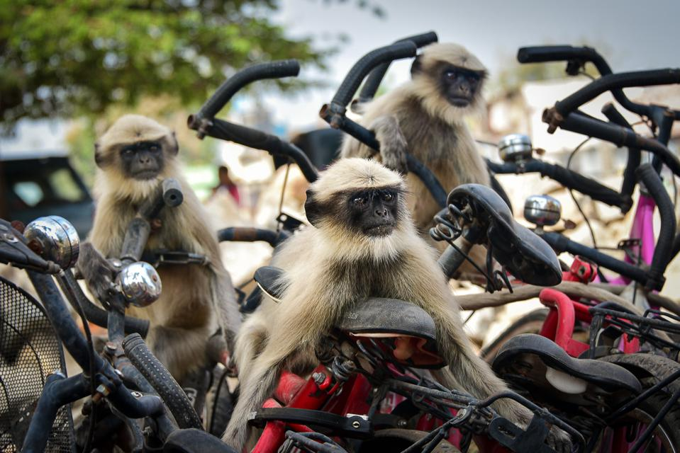 Funny Wild Animals competition: Langurs on motorcycles in India