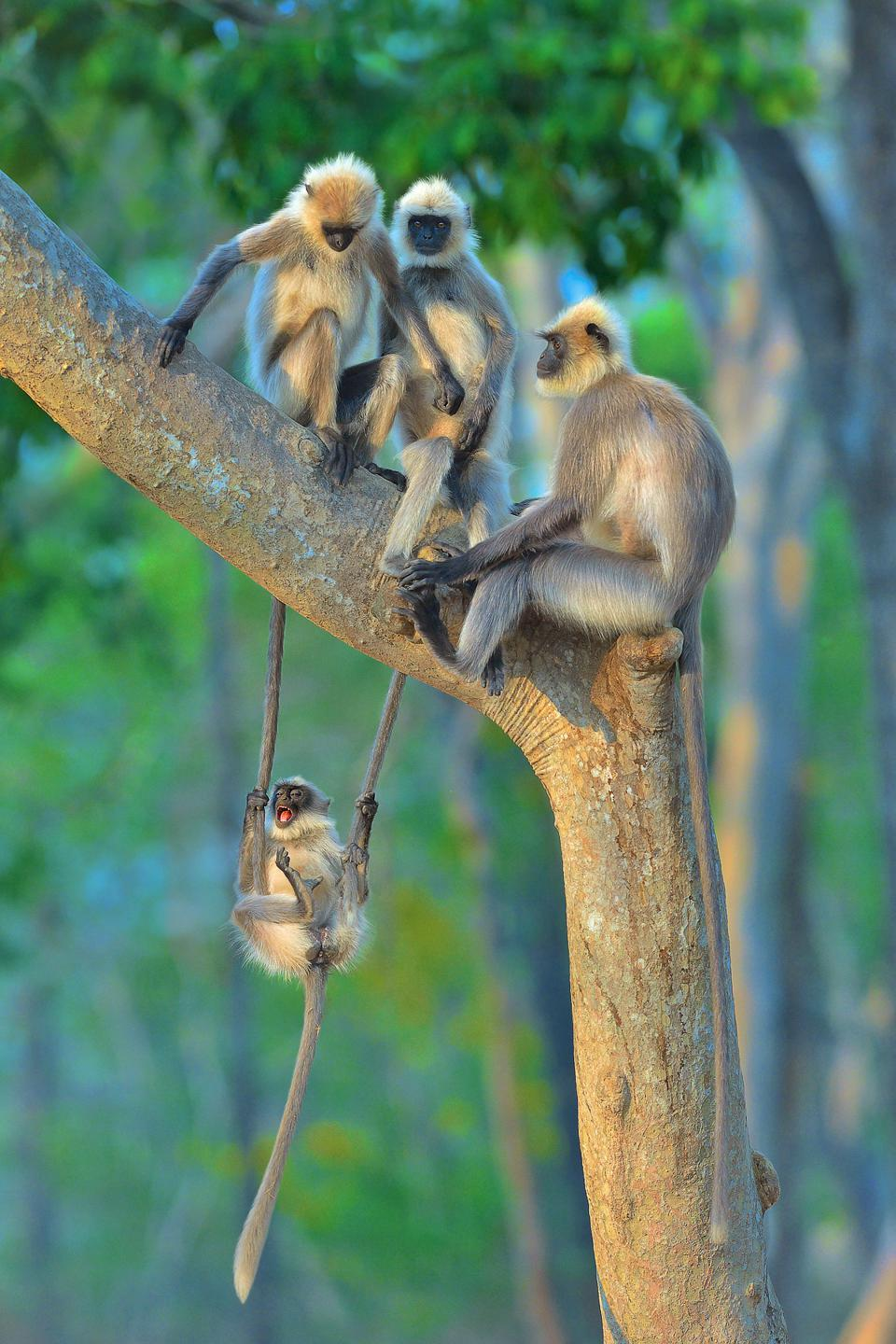 Funny Wild Animals photo competition: Langurs, in Kabini, India