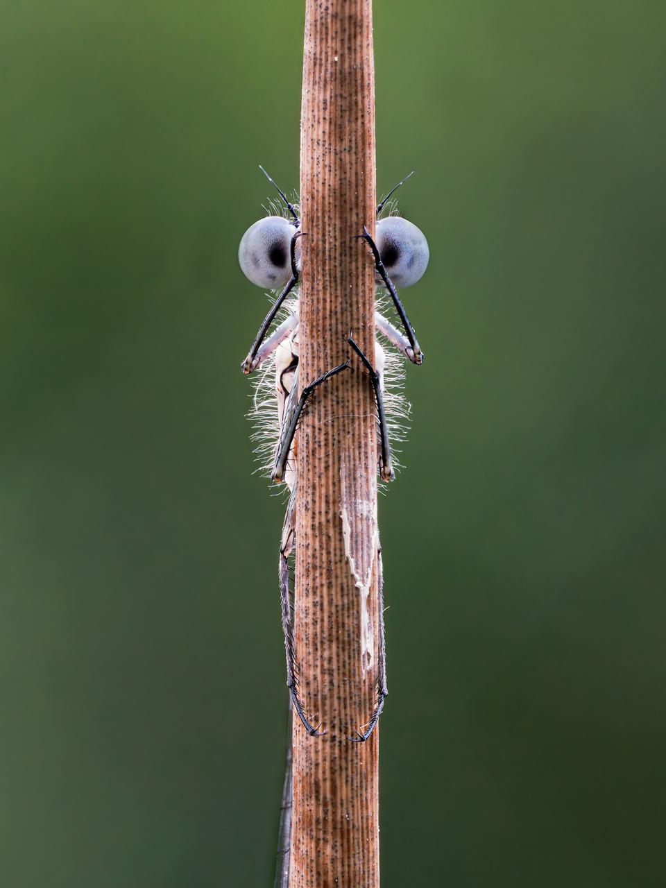 Funny Wild Animals competition: A damselfly that looks like a muppet.