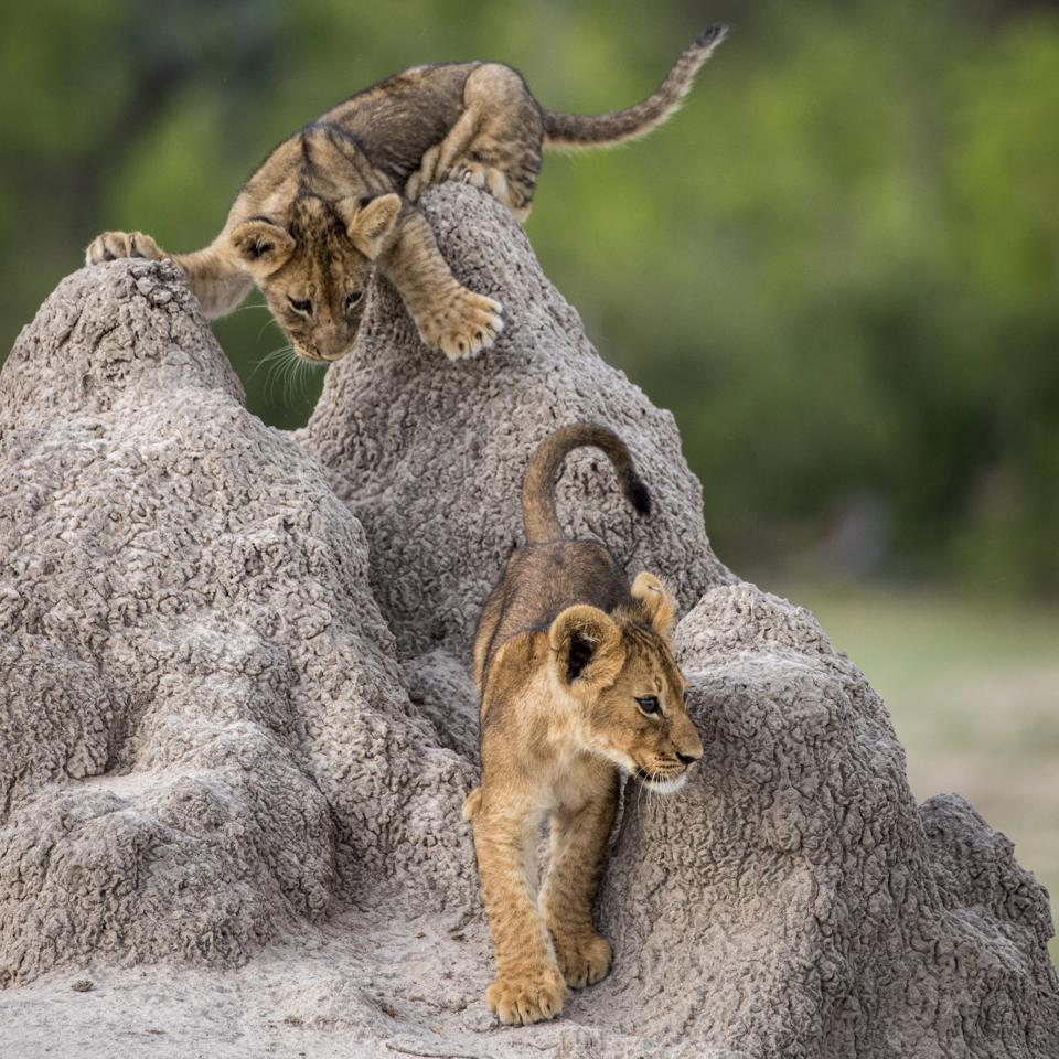 Funny Wild Animals photo competition: Lion cubs in Hwange National Park, Zimbabwe