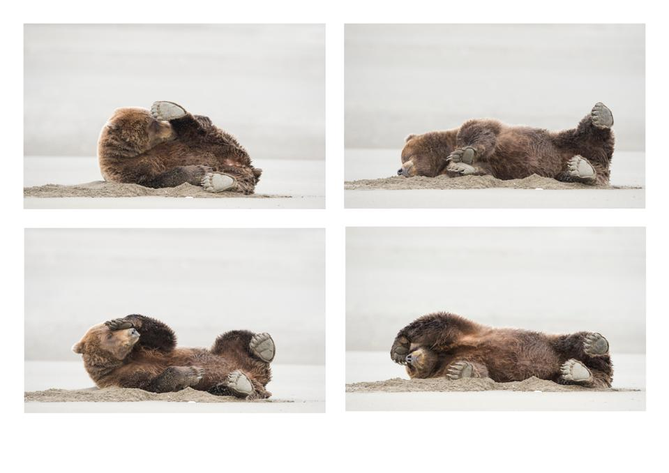 Funny Wild Animals photo competition:A brown bear farting.
