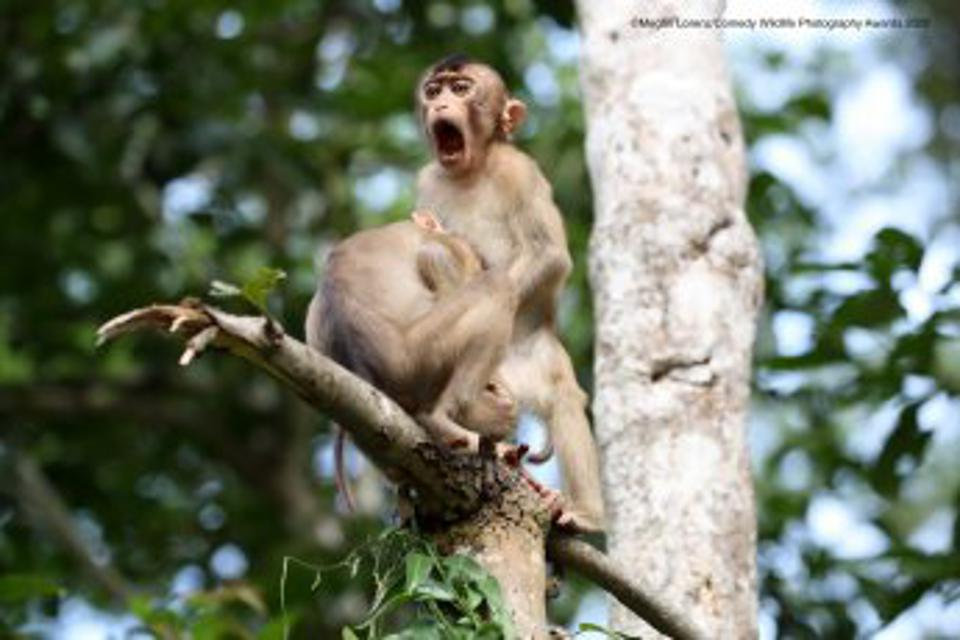 Funny Wild Animals photo competition: Pig-Tailed Macaques, Kinabatangan River in Borneo