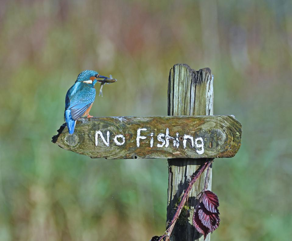Funny Wild Animals photo competition: A blue bird with a fish lands in a 'no fishing' post.