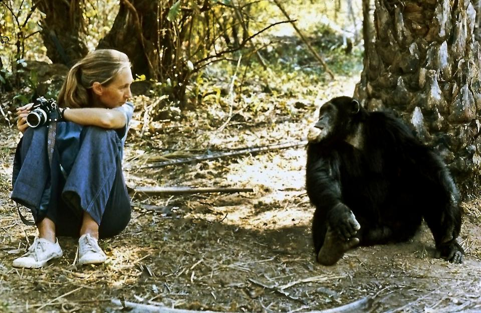 Dr. Jane Goodall with alpha male Figan at Gombe National Park in Tanzania.