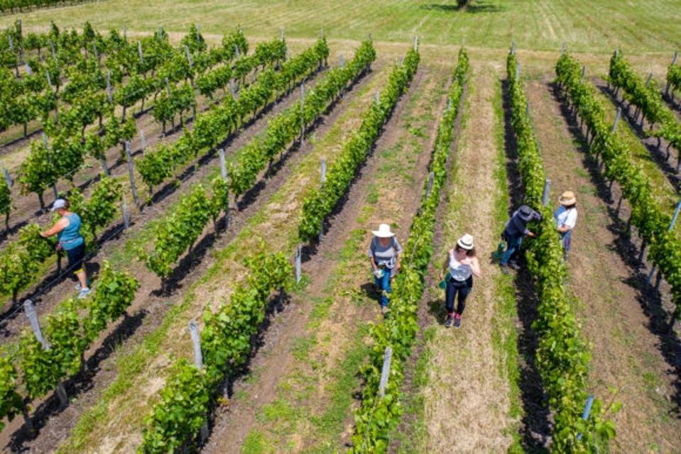 Bordeaux vineyards, harvest team