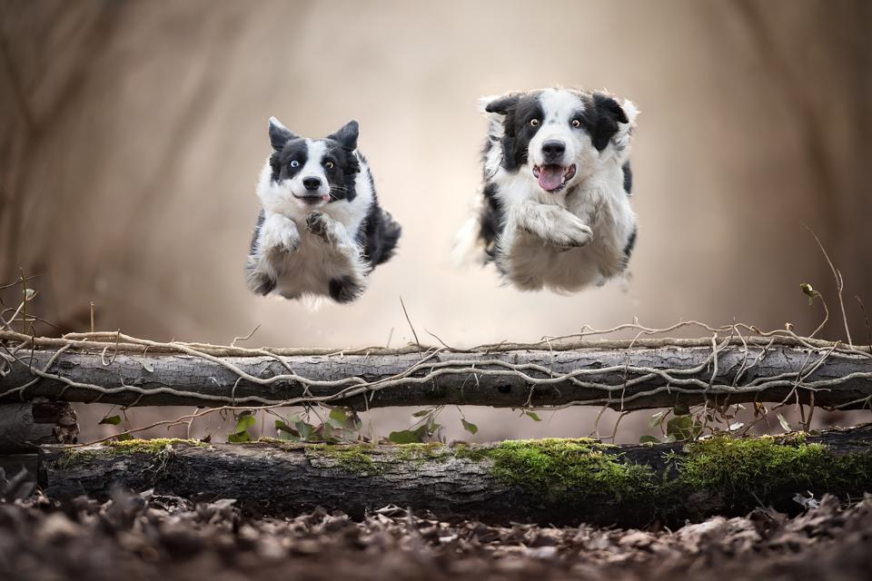 two border collies jumping