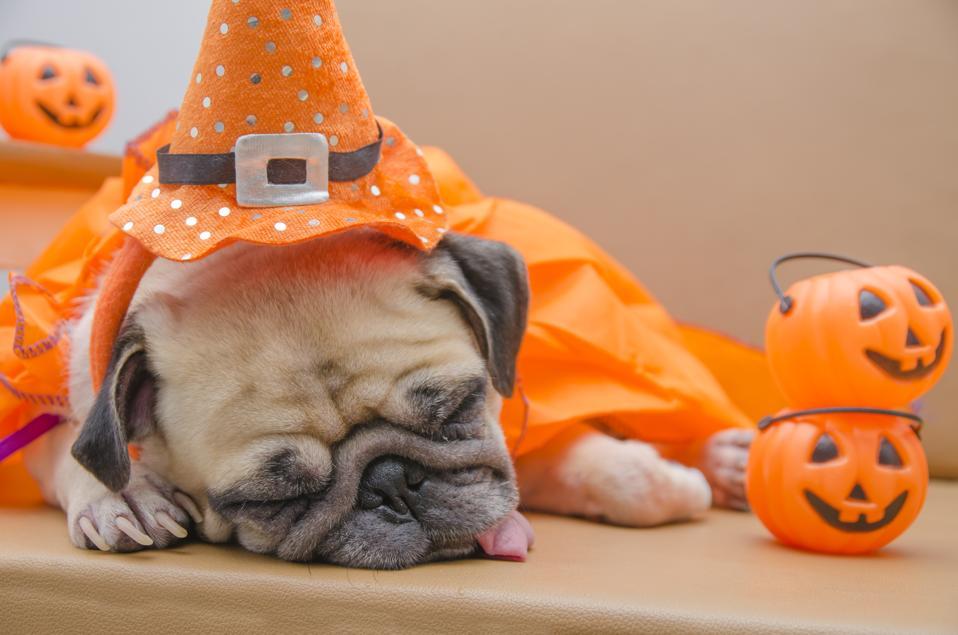 Cute pug dog with halloween costume