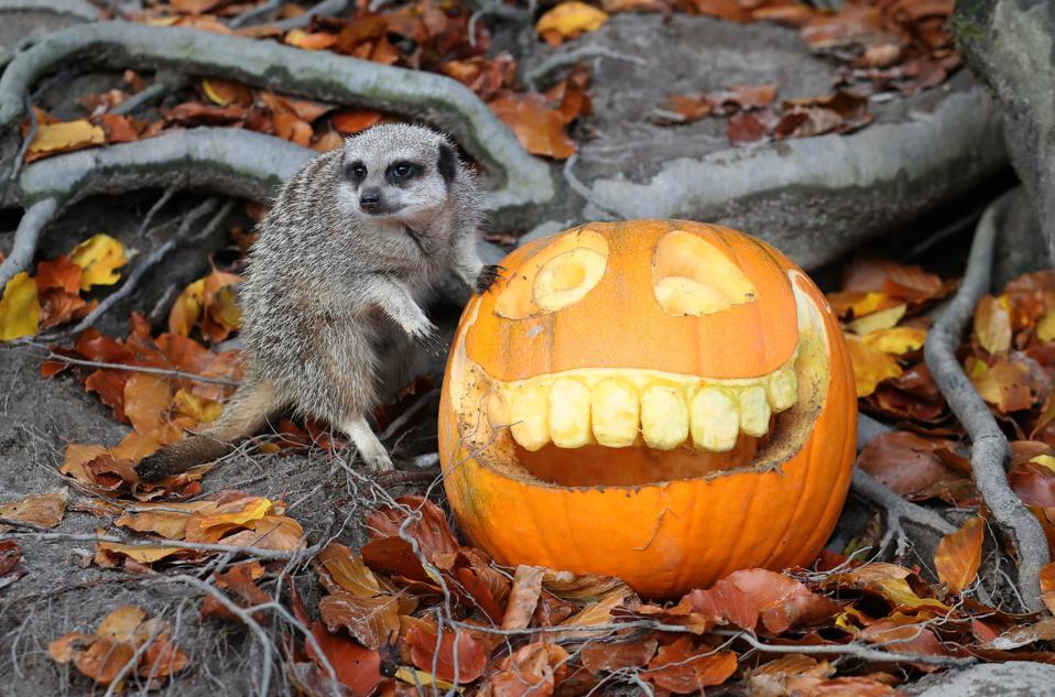 Halloween 2020: Meerkats at Stirling in Scotland, explore the pumpkin treats.