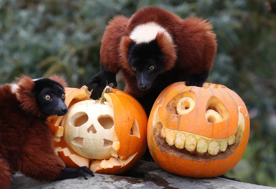 Halloween 2020: red ruffed lemurs in Scotland explore pumpkin treats