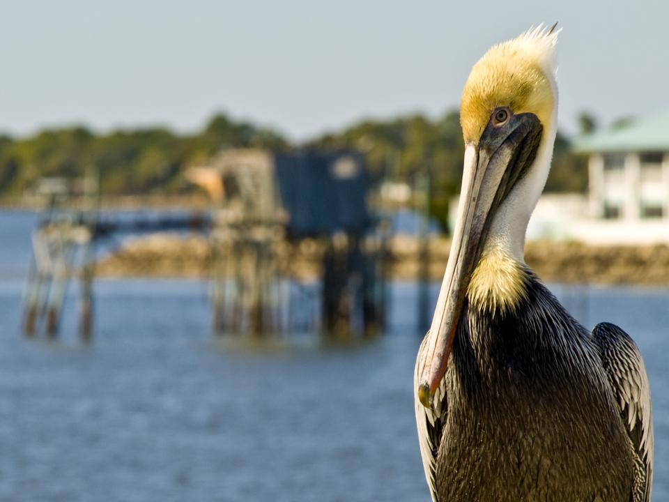 Pelican - Cedar Key Florida