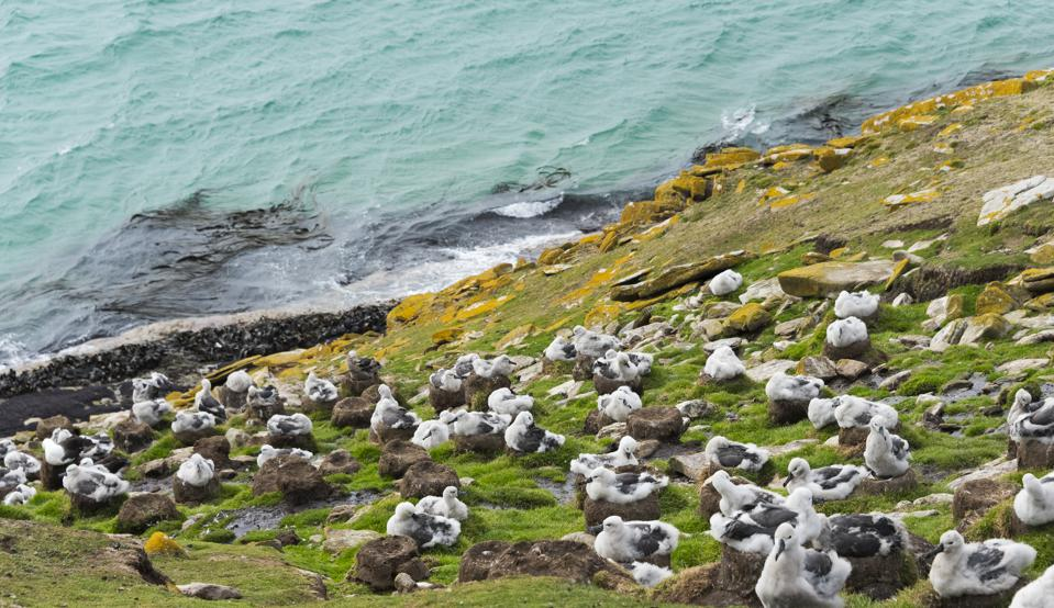Black-browed albatross colony, chicks sitting on nest