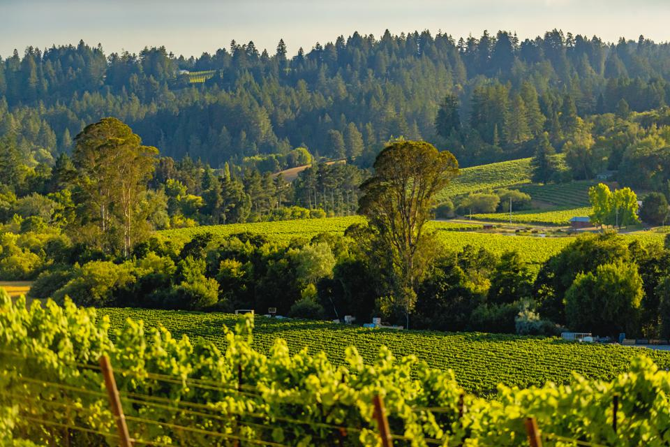 green vineyards and trees in Sonoma, California