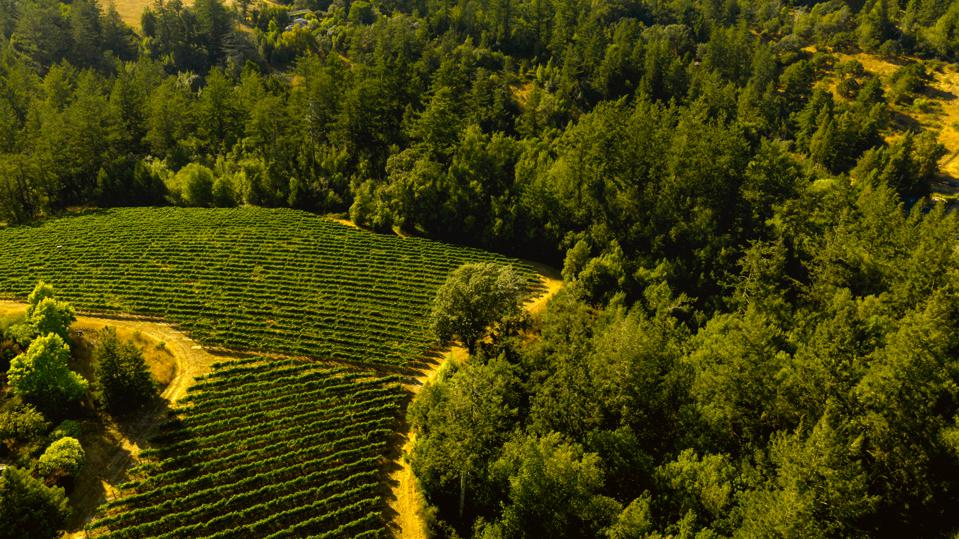 rolling vineyards and forest in California, Sonoma County